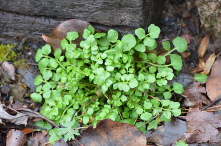 Common Winter Weeds Found In Alabama Lawns Alabama Lawn Pros